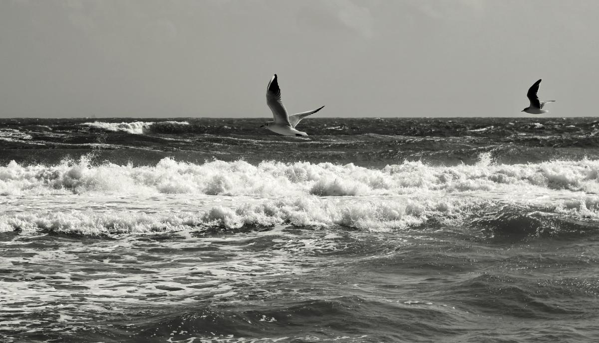 Gulls of Winter