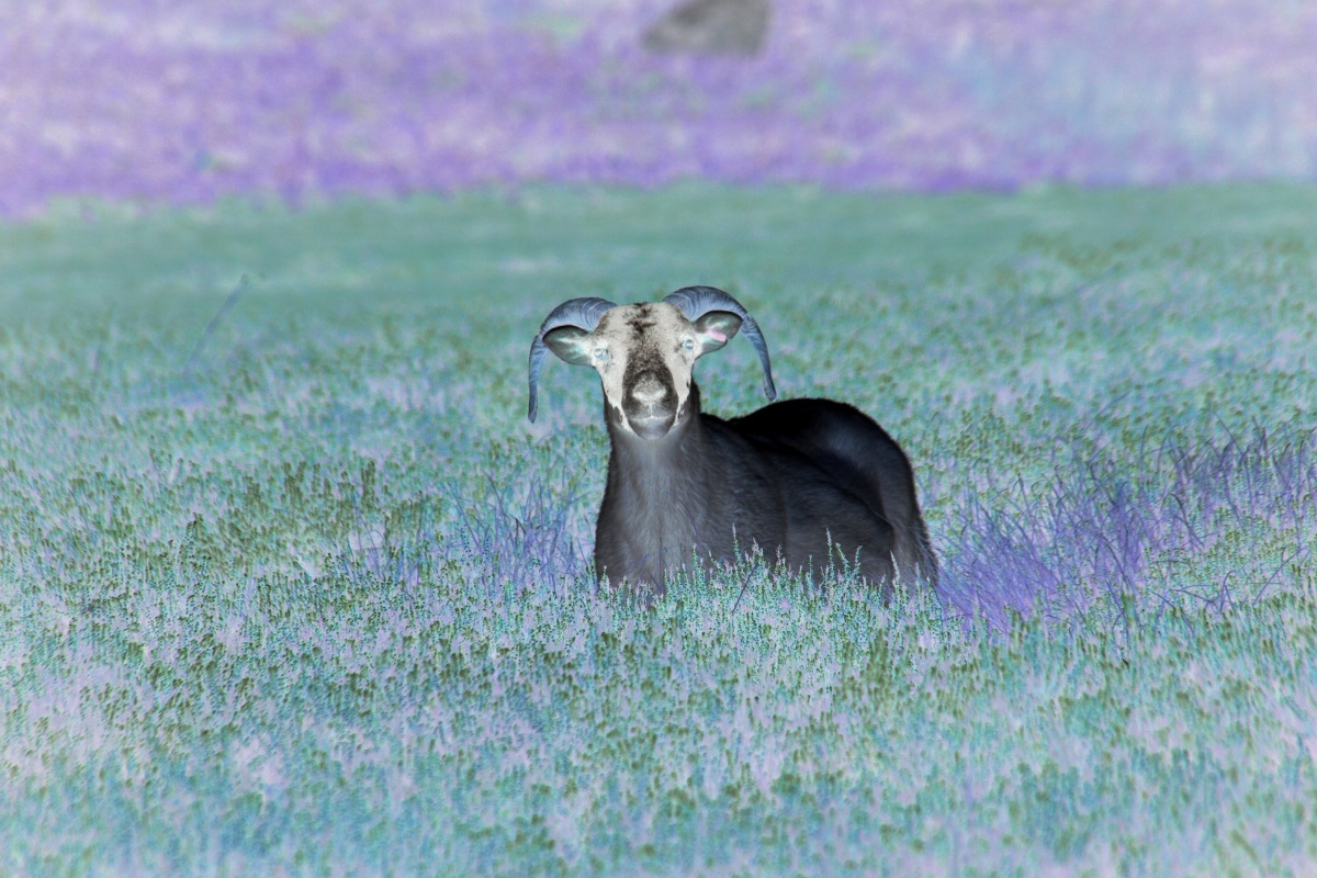 The Purple Sheep of the Family