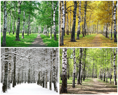 birch trees stillgrow