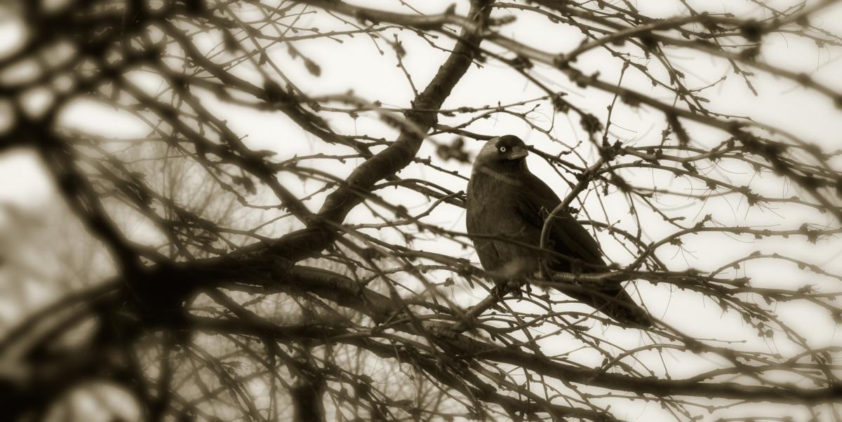A Winter Crow