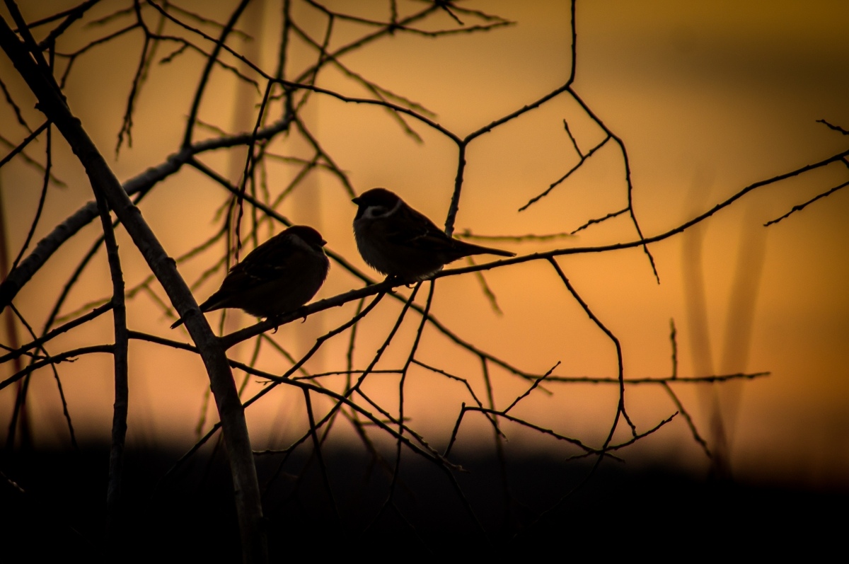 Winter Sparrows
