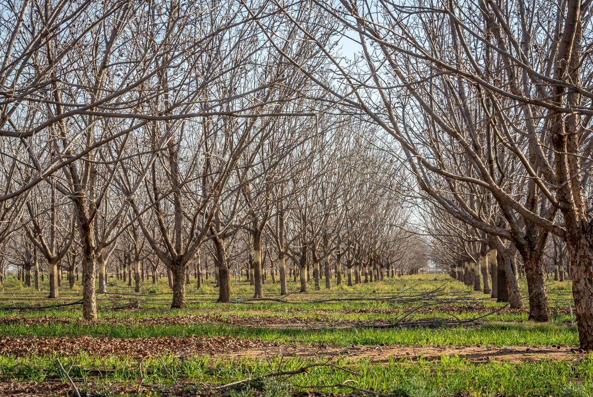 Snapshot: Pecan Orchard